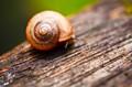 Cautious Snail