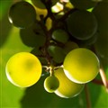 transluscent grapes