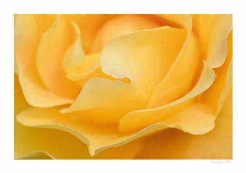 Rose29th11a