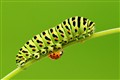 Caterpillar, Ladybug and Little aphid