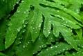 Matted Ferns