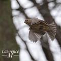 House Finch in Flight