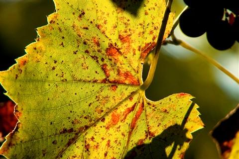 IMG_2199 Vine Leaf