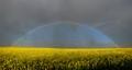 Rainbow over canola