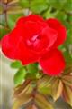JUANITA'S ROSE II