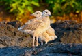 Sea Gull Chicks
