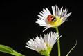 Ladybeetle's love