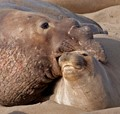 Elephant Seals in Love