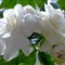 Gardenia # 11