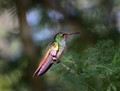 Ruffous Tailed Hummingbird in pool of light in Panama