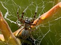Australian House Spider in California