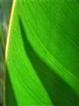 Strelizia Leaves