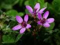 Erodium cicutarium flowers.