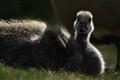 Canadian Goose, Gosling