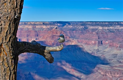Grand Canyon resident-web copy