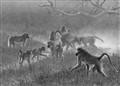Botswana - Baboon troop