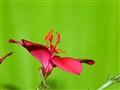 greenish pink