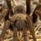 Tarantula _ IMG_9066