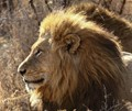 Kruger lion in the morning SA sun