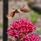 Hummingbird Hawk Moth.
