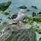 Larus scoresbii (Dolphin Gull)