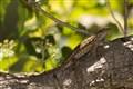 Lizard in the Bush