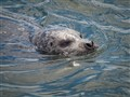 harbor seal victoria bc (1 of 1)