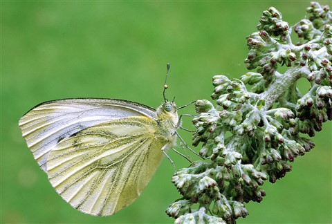 Image0056  Green Veined White