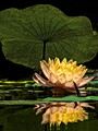 Water Lily and Leaf