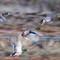 Ducks flying motion blur 2-