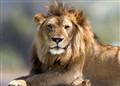 lion_02