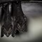 06-Lesser False Vampire Bat Megaderma spasma Kelawar