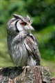 Long-Eared Grey Owl