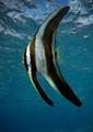Longfin batfish (subadult)