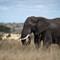 Bull Elephant in Savannah