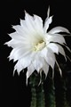 Night Blooming Cactus Flower