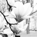 L1940186....the macnolia in b/w....