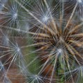 Dandelion - last hoorah before getting blown in the wind...