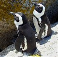 a pair of pinguins