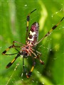 Golden silk orb-weaver, genus Nephila
