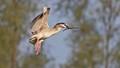 """Black-crowned Night Heron in """"r"""" shape"""