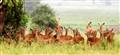 Impala Family Tanzania