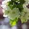 Bel de Bosco blomma-2447