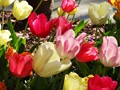 Photo of tulips in a spring garden.
