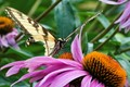 Old Swallowtail