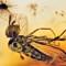 2017 Amber 019 March Diptera Brachycera B2