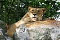 Mala Mala Lion 2