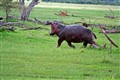 Hippo on the Move!