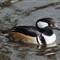 Hooded Merganser - cropped