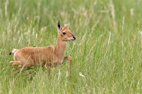 Mongolian Gazelle Baby